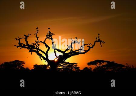 Weißstörche (Ciconia Ciconia) auf einen Toten Akazie bei Sonnenaufgang, Baum-Savanne, Serengeti Nationalpark, Tansania - Stockfoto