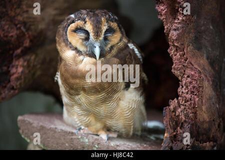 Braune Holz Eule - Strix Leptogrammica - Erwachsene - Stockfoto