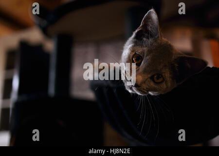 Chartreux Katze auf einem Bett liegend - Stockfoto