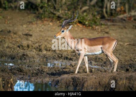 gemeinsamen Impala im Krüger-Nationalpark, Südafrika; Specie Aepyceros Melampus Familie der Horntiere - Stockfoto