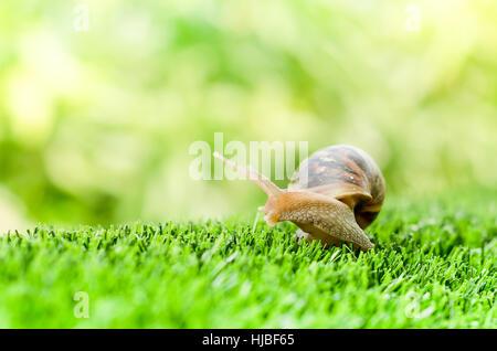 Eine Schnecke kriecht auf dem grünen Rasen im Garten. - Stockfoto