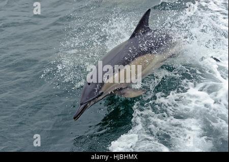 Kurzer Schnabel Gemeiner Delfin (Delphinus Delphis) Bogen-reiten neben Schiff. Inneren Hebriden, Schottland. Juli - Stockfoto
