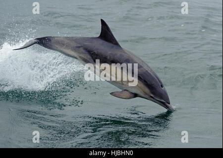 Kurzer Schnabel Gemeiner Delfin (Delphinus Delphis) neben Schiff verletzt. Inneren Hebriden, Schottland. Juli 2013. - Stockfoto