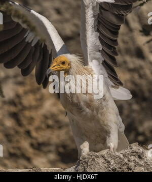 Ägyptischer Geier Neophron Percnopterus dehnen. - Stockfoto