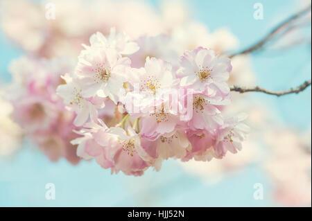 """Nahaufnahme der schönen Soft-rosa Blüte Frühlingsblumen die """"Auszeichnung"""" Kirschbaum - Prunus 'Accolade' mit einem - Stockfoto"""