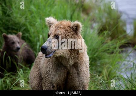 Katmai Braunbären Fischerei auf Lachs an den Brooks Falls.  Jährling Bärenjungen. Erwachsenen trägt Angeln. Alaska. - Stockfoto