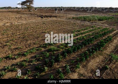 Kenia, Lodwar, 65 accres NAPUU Tropfbewässerung Regelung durch die Grafschaft Regierung, das Wasser wird durch eine - Stockfoto