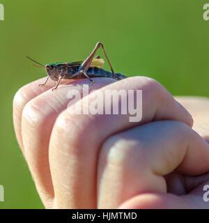 Heuschrecke auf Finger - Stockfoto
