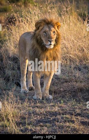Männliche African Lion, Panthera Leo, stehend, Frontansicht, Masai Mara National Reserve, Kenia, Afrika, Porträt - Stockfoto