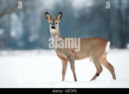 Junge männliche Rehe ohne Geweih während der Winterzeit
