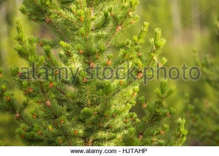 Detail des jungen Lodgepole Pine Wald im Yellowstone National Park - Stockfoto