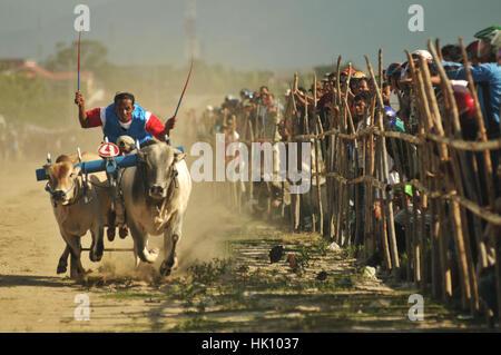 Einer der Teilnehmer in das Rennen um Kuh Stier-Rennen zu fördern statt in türkischen Talise, Palu, Zentral Sulawesi, - Stockfoto