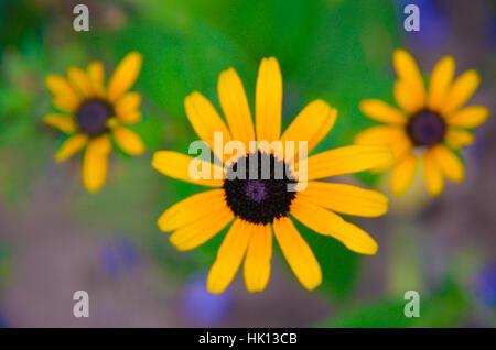Gelbe Blüten der Rudbeckia Rudbeckia hautnah - Stockfoto