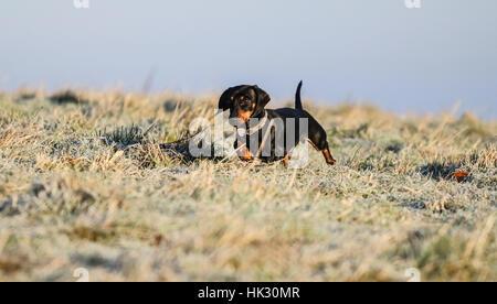 Zwergdackel spielen im frost - Stockfoto
