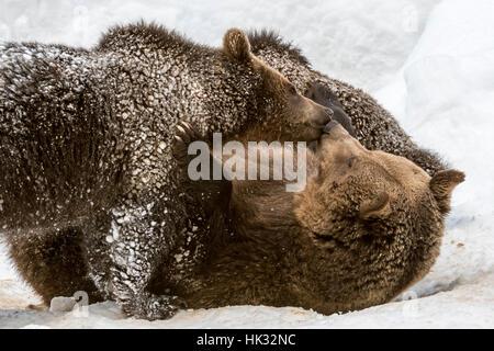 Weibliche Braunbären Gruß 1-Year-Old Cub (Ursus Arctos Arctos) auf ihr liegend zurück in den Schnee im winter - Stockfoto