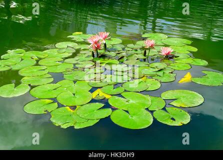 Seerose im Teich - Stockfoto