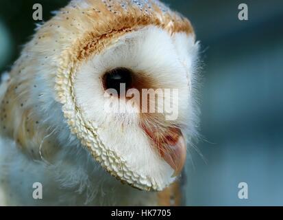 Barn Owl Kopf Nahaufnahme, Rye, East Sussex, England, Großbritannien - Stockfoto