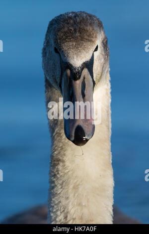 Kopfschuss von einem unreifen Höckerschwan (Cygnus Olor) - Stockfoto