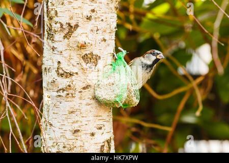 Gemeinsamen Haussperling Fütterung auf Fette Kugel mit Samen in grün net auf Birke im Garten - Stockfoto