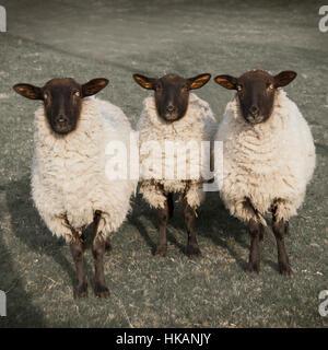 Drei neugierige Schafe Blick in die Kamera. Die Augen starren. Monochromatisches Bild. Aufgenommen im Peak District, - Stockfoto