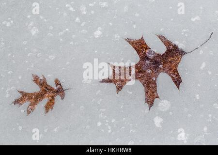 Gefallenen Roteiche, Quercus Rubra, verlässt im Eis eingebettete auf See die Wolken, kanadischen Seen, Stanwood, - Stockfoto