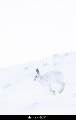 Schneehase (Lepus Timidus) laufen im Schnee, winter Mantel, Cairngroms Nationalpark, Schottisches Hochland, Schottland - Stockfoto