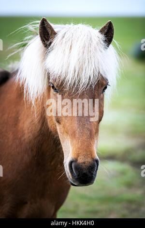 Islandpferd Porträt hautnah - Stockfoto