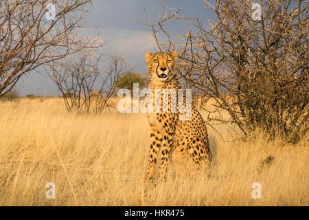 Cheetah, Acinonyx jubatus, Lapa Lange Lodge, Namibia, Afrika von Monika Hrdinova/Dembinsky Foto Assoc - Stockfoto