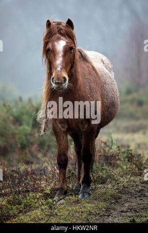 Flintshire, Wales, UK. 30. Januar 2017. Walisische Wildpferde daran gewöhnt, die feuchten Nebel in den Ausläufern - Stockfoto