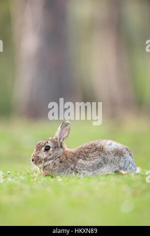 Europäischen Kaninchen (Oryctolagus Cuniculus), Niederösterreich, Österreich - Stockfoto
