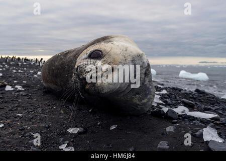 Weddell Dichtung ruht auf einem schwarzen Vulkanstrand in der Antarktis. - Stockfoto