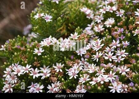 Cluster von wilden Blumen auf der Great Ocean Road (Victoria ...