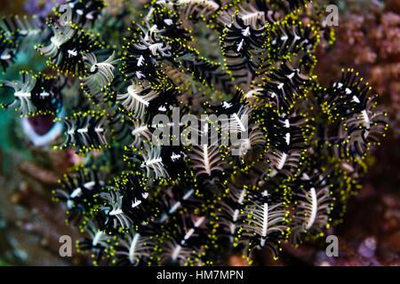 Die aufgerollte Arme der einen Variablen buschigen Feder Stern auf einem Riff. - Stockfoto