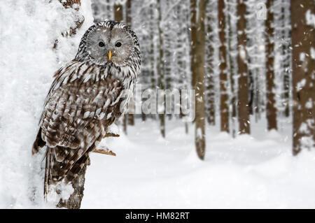 Habichtskauz (Strix Uralensis) thront im Baum im Wald während der Schneedusche im winter - Stockfoto