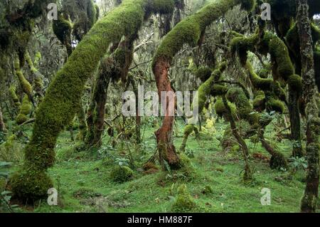 Harenna Wald, Ballen oder Urgoma-Mountains-Nationalpark, Äthiopien. - Stockfoto