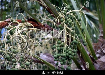 Die Samen von Palmen in seiner Krone. Detailansicht einer tropischen Palmkernen. Detailansicht der Daten auf einer - Stockfoto