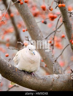 Eine eurasische Halsband-Taube Streptopelia Decaocto, thront auf einem Baum Zierapfel, Malus, im Winter. - Stockfoto