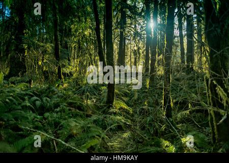 Ancient Forest in Vancouver Island - Moos bedeckt große Urwald am Port Renfrew 1, Vancouver Island. - Stockfoto