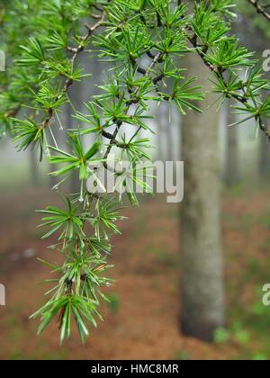 Europäische silber Tanne (Abies alba). misty Sommer am Nachmittag an Naturparks Montseny. Provinz Barcelona, Katalonien, - Stockfoto