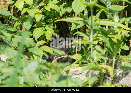 junge baby amsel im garten april 2013 stockfoto bild 56433006 alamy. Black Bedroom Furniture Sets. Home Design Ideas