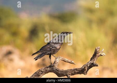 Kolkrabe (Corvus Corax). Fresnedilla De La Oliva, Provinz Madrid, Spanien - Stockfoto