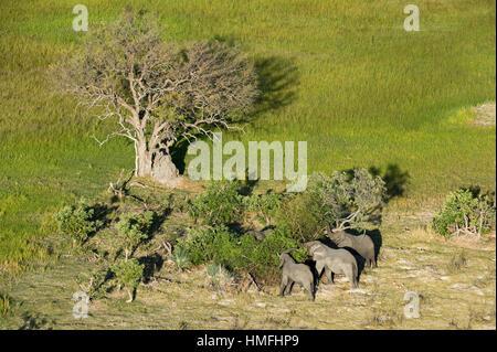 Luftaufnahme des afrikanischen Elefanten (Loxodonta Africana), Okavango Delta, Botswana - Stockfoto