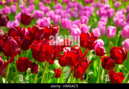 Tulpe Blumen. Frische rote Tulpen Glade. Feld mit roten Tulpen in den Niederlanden. Rote Tulpen Hintergrund. Gruppe - Stockfoto