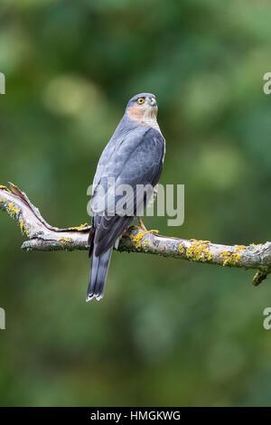 Eurasische Sperber (Accipiter Nisus) hocken auf einem Ast im Wald - Stockfoto