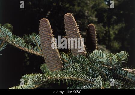 Silberne Tanne oder europäische Silber-Tanne Zweig mit Zapfen (Abies Alba), Tannenbäumen. - Stockfoto
