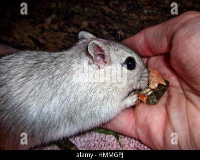 Wüstenrennmaus essen Körner von hand - Stockfoto