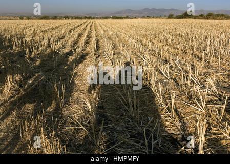 Der Cowboys Schatten auf abgeernteten Feldern von der aufgehenden Sonne während der jährlichen Wallfahrt Cabalgata - Stockfoto