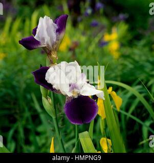 Iris sp, Iridaceae. - Stockfoto
