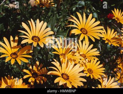 Pfeiffersches Kap-Ringelblume oder Kap-Ringelblume (Dimorphotheca Aurantiaca oder Dimorphotheca Sinuata), Asteraceae. - Stockfoto