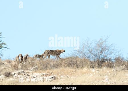 Geparden jagen mit jungen - Stockfoto